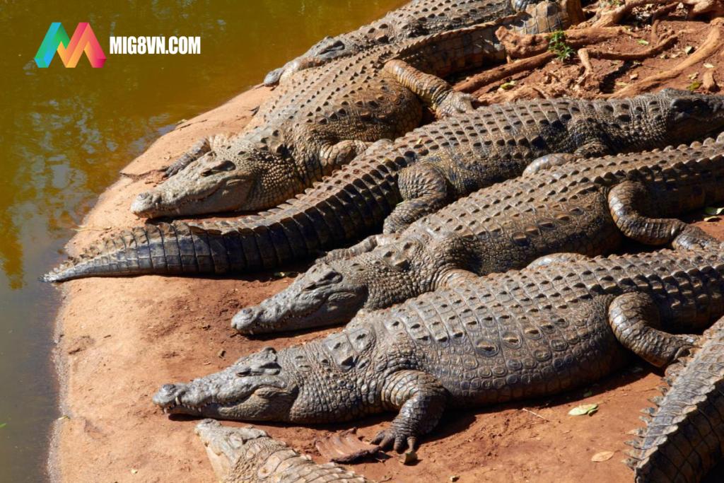 Mơ thấy cá sấu điềm báo gì